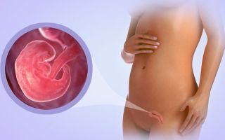 2 недели беременности