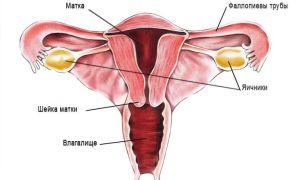 Половые железы у женщин