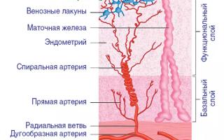Какой должен быть эндометрий в норме