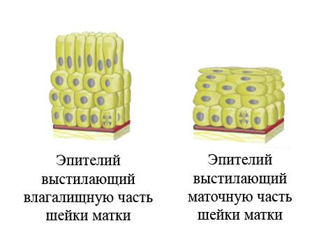 Плоский эпителий в мазке: опытный венеролог в Москве.