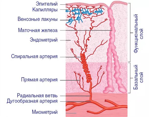 Гинекология м эхо при менопаузе