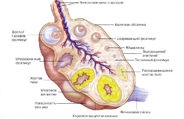 Признаки желтого тела в левом яичнике 1