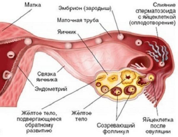 Признаки желтого тела в левом яичнике 4