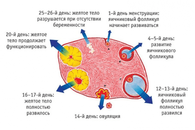 Узи показало желтое тело в правом яичнике 44