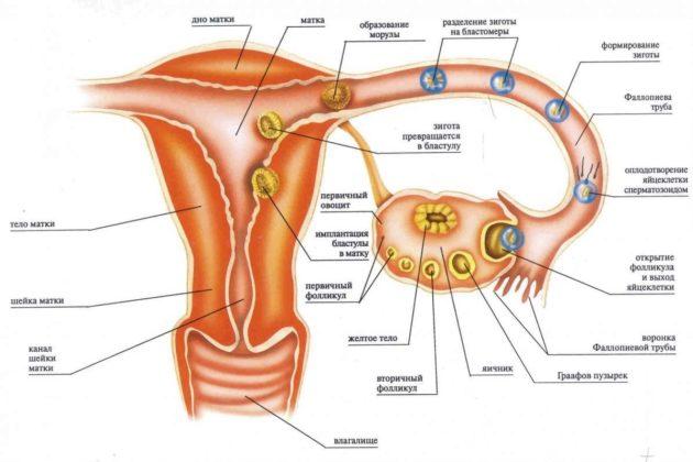 Имплантационное кровотечение или месячные как отличить