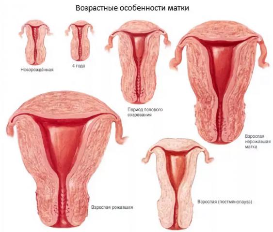 Что значит цилиндрическая шейка матки