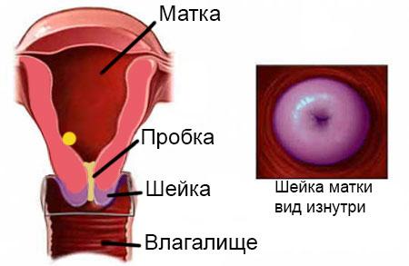 Шейка матки во время цикла