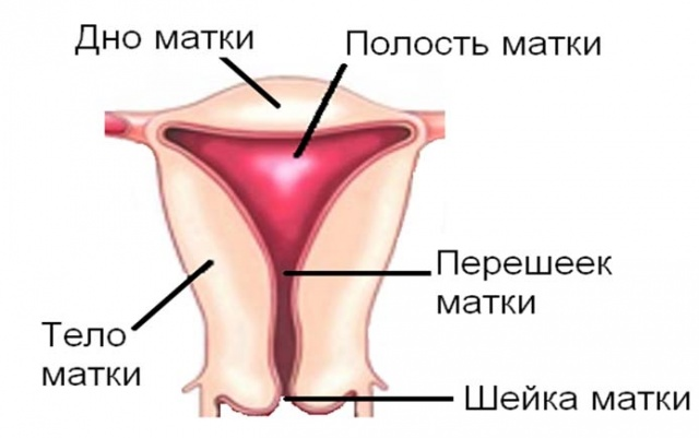 Анатомия мочевого пузыря: строение, расположение и размер у женщин, фото