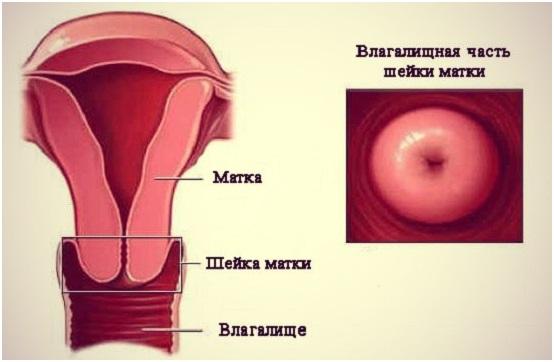 Шейка матки в нормальном состоянии