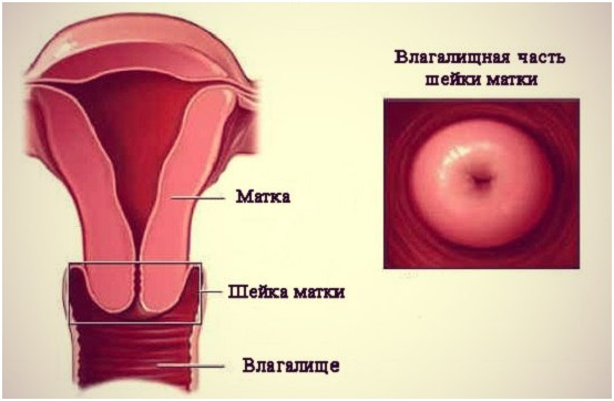 Длина шейки матки норма у небеременных